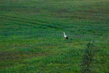 Stork In The Green Meadow In T...