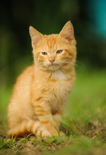 Ginger Kitty Cat Sitting In Grass