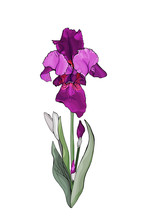 Single Vector Purple Iris Flower On Stem With Green Leaves. Isolated On White Background. Hand Drawn. Illustration For Floral Design Greeting Cards, Invitation, Fabric, Wallpaper.