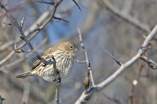 Female House Finch, Haemorhous...