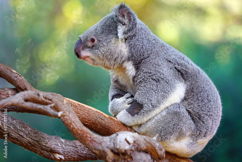A koala on a eucalyptus gum tree in Australia Wallpaper Mural