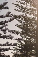 Norfolk Island Pine Trees Shot...