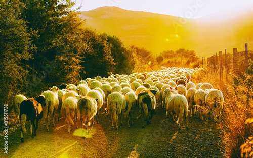 Obraz na plátně Sunrise and Flock of sheep at agricultural village in Perdaxius, Carbonia-Iglesias