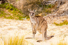 A Cute And Big Kangaroo On The Beach