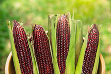 Fresh Red Corn On Rustic Woode...