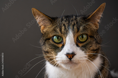 Multi colored cat with grey background