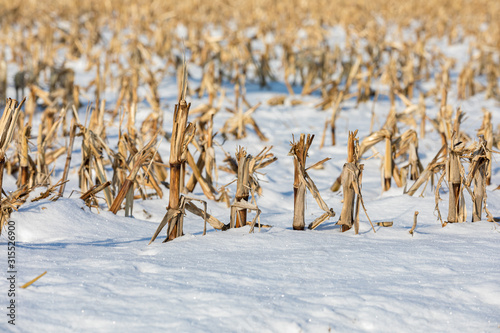 Fototapeta  Closeup view of snow covered harvested cornfield in winter