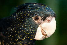 The Red-tailed Black Cockat...