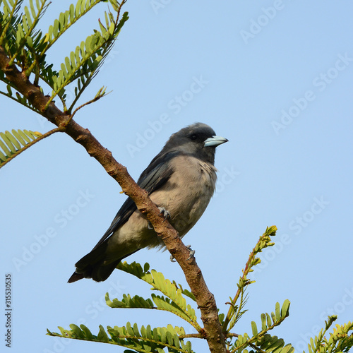 Photo Bird (Ashy Woodswallow) in nature, in Thailand