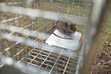 A Small Cute Mice Mouse With Long Tail Caught Metal Cage Trap Pest Control Trapped With Looks Worried