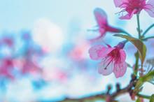 Sakura Flowers - Wild Himalayan Cherries On A Pink Blurred Background