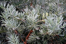 Blue Ice Yellowwood Plant, Als...