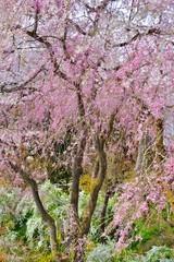 Fototapeta Ogrody 枝垂桜の花の下にさく雪柳の花です