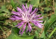 Beautiful Violet Centaurea Flo...