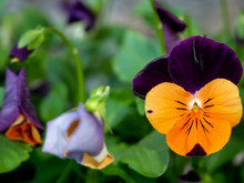 Blooming Purple And Yellow Viola (pansy) Flower With Softly Blurred Background