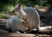 The Albino Red Necked Wallaby ...