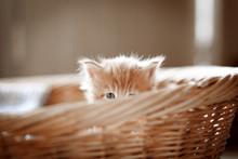 Red Or Ginger Little Kitten In...