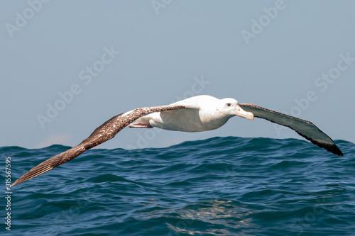 Gibson's Wandering Albatross Canvas Print