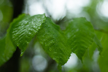 Raindrop Covered Leaves Following Rain Storm