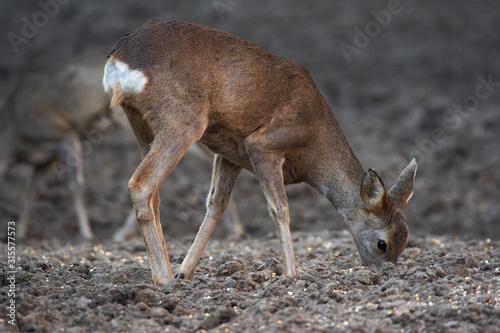 Fotografie, Obraz Group of roe deer and buck