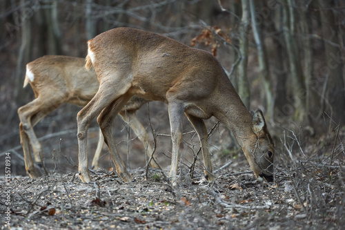 Valokuva Group of roe deer and buck