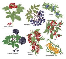 Medical Plants Set. Panax Gins...