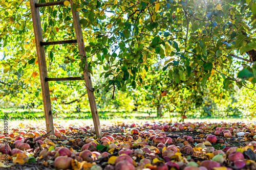 Apple orchard with ladder low angle view under tree and fallen rotting fruit on Wallpaper Mural