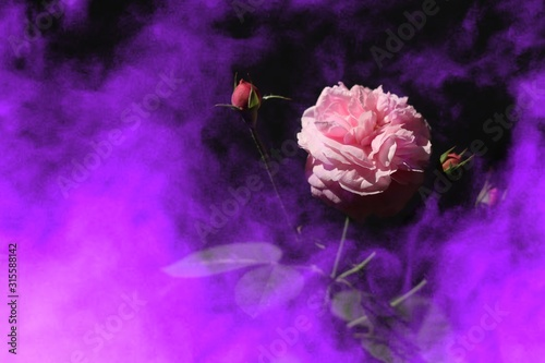 beautiful-pink-rose-on-a-fantastic-coloraturas-smoke-background-poison-valentine-day-or-special-anniversary-day-background
