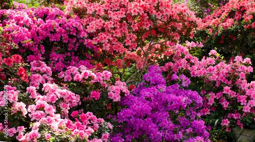 Fotomural  Beautiful vibrant azalea flower tree blooming in the botanical garden, in Kyiv