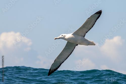 Southern Royal Albatross Canvas-taulu