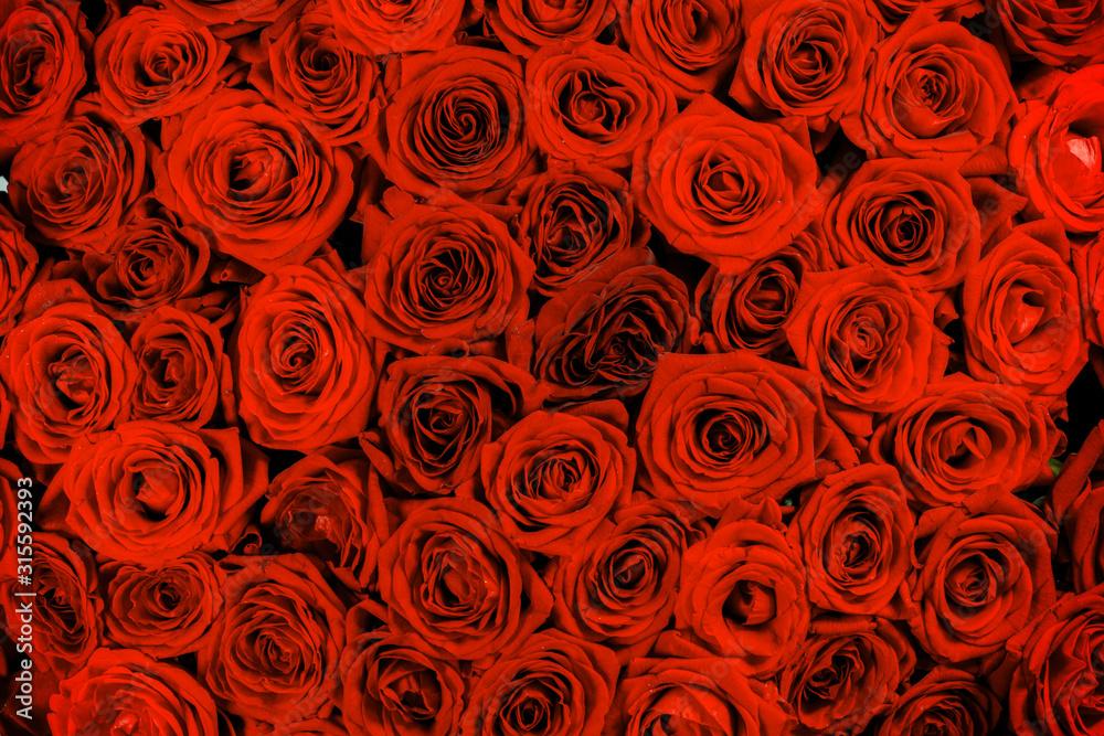 Fototapeta Red rose close up backgroud