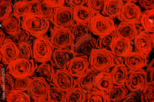 Obraz Red rose close up backgroud - fototapety do salonu
