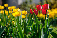 A Beautiful Springtime Front Yard Of A House In Nuremberg, Germany, With Plenty Of Yellow And Red Tulips In Backlit On An Afternoon Of A Sunny Day In April 2019