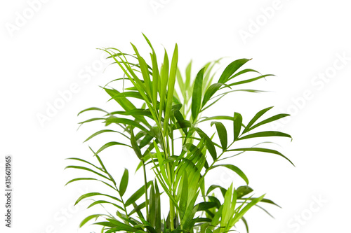 Obraz Houseplant, green leaves of indoor palm, closeup, isolated on white background. Chamaedorea, Parlor palm plant - fototapety do salonu