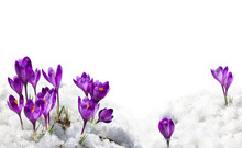 Spring Snowdrops Flowers Violet Crocuses ( Crocus Heuffelianus ) In Snow On A White Background With Space For Text