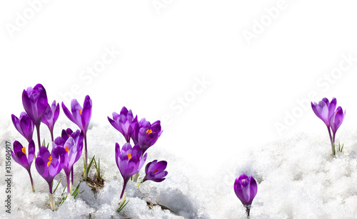 Fotografia Spring snowdrops flowers violet crocuses ( Crocus heuffelianus ) in snow on a wh
