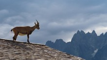Ibex On Sunlit Tiles Surveying...