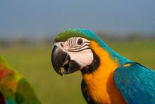 Closeup Macaw A Beautiful Parrot