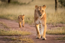 Lioness And Cub Walking Along ...