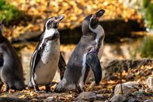 Humboldt Penguin, Spheniscus H...