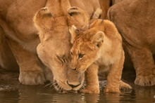 Lioness Drinks From Water Hole...