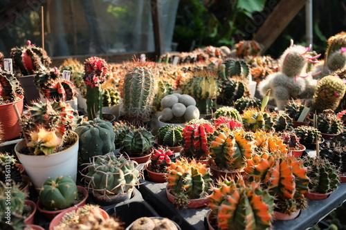 Colorful assorted cactus in tiny pot on table, still life variegated cacti morni Canvas Print