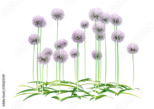 3D Rendering Allium Flowers on White Canvas Print
