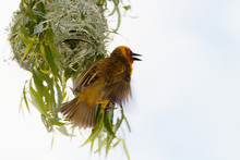 Cape Weaver By His Nest, Wings...