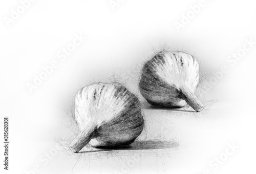 A beautiful drawing of aromatic garlic Canvas Print