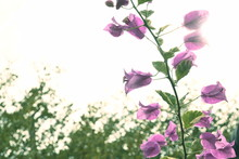 Pink Bougainvillea Flower Orna...
