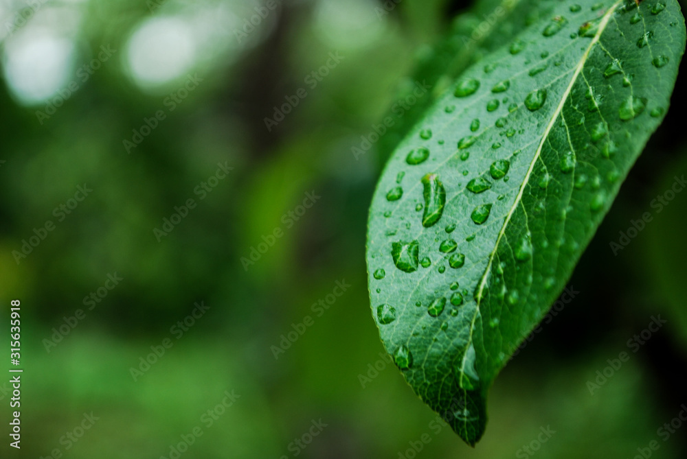 Fototapeta liść roślina ogród krople