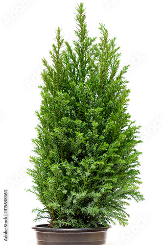 Little green cypress tree. Isolated on white. Canvas