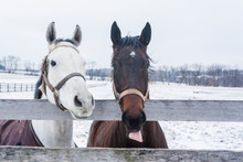 A White Horse And Brown Horse,...