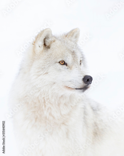 Photo  Arctic wolf headshot isolated on white background closeup in the winter snow in